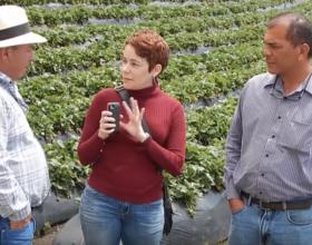 Cultivo orgánico de fresa