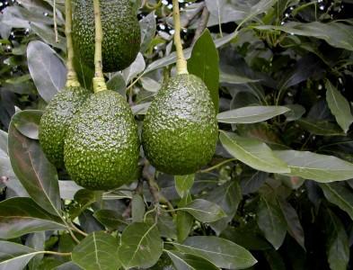 Uso de Trichoderma harzianum disminuye uso de fertilizantes de nitrógeno